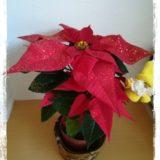 クリスマスフラワー ポインセチア